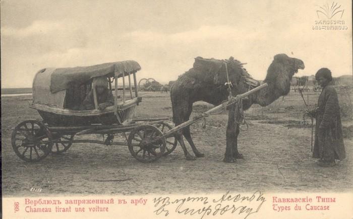 Верблюд запряженный в арбу.