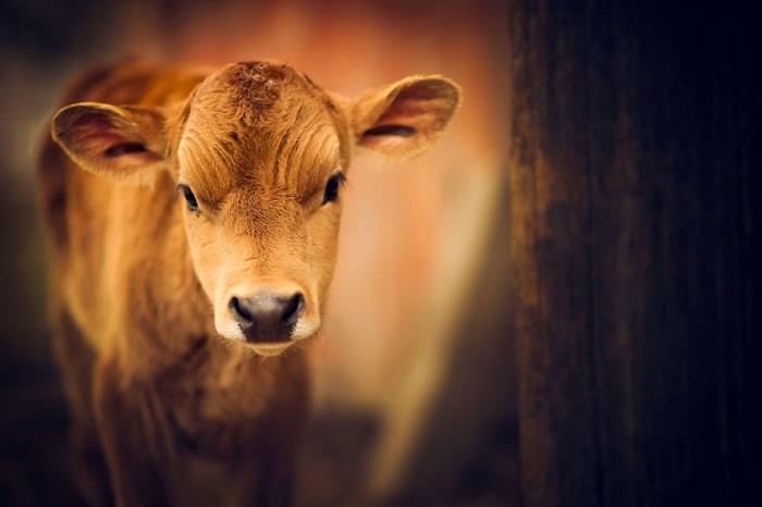 Молодое животное с печальным взглядом.
