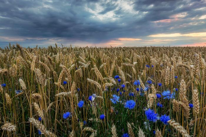 Пшеничное поле, усыпанное васильками. Автор фотографии: Мартин В. Дженсен (Martin W. Jensen).