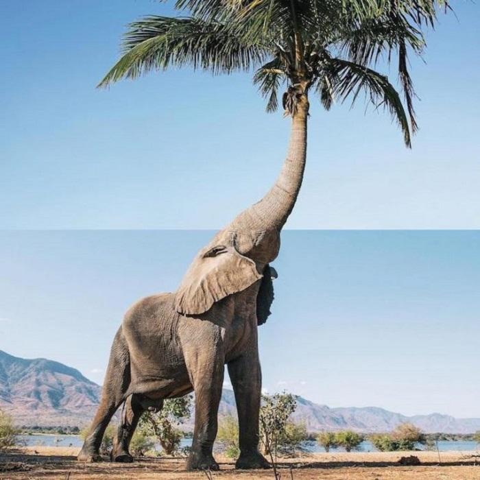 Новый вид в природе - «Пальмовый слон».