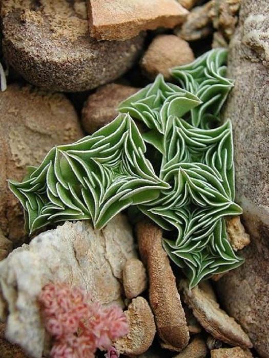 Тибетская красавица с листьями ромбовидной формы.