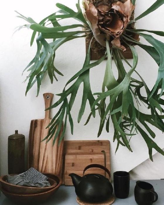 Оригинальный папоротник с оленьими рогами растет на дереве или в вертикальном положении.