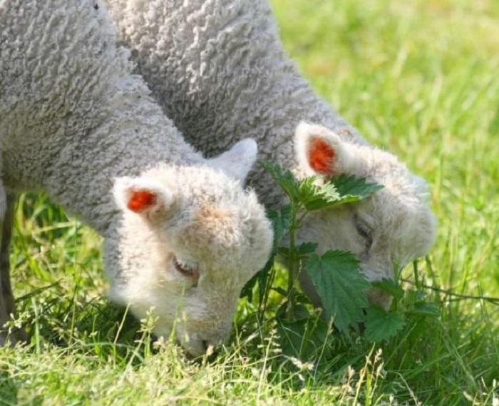 Овечки славятся тем, что их можно выращивать и ради шерсти, и ради мяса. | Фото: dezinfo.net.