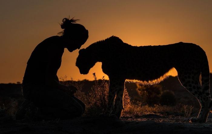 Ветеринар намибийского национального парка много лет назад выкормила малыша гепарда-сироту и теперь животное каждый вечер приходит проведать свою приемную «мать»... Фотограф - Terry Allen.