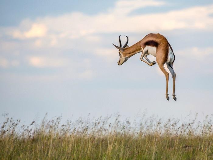 Прыгучая газель. Фотограф - Charles Jorgensen.