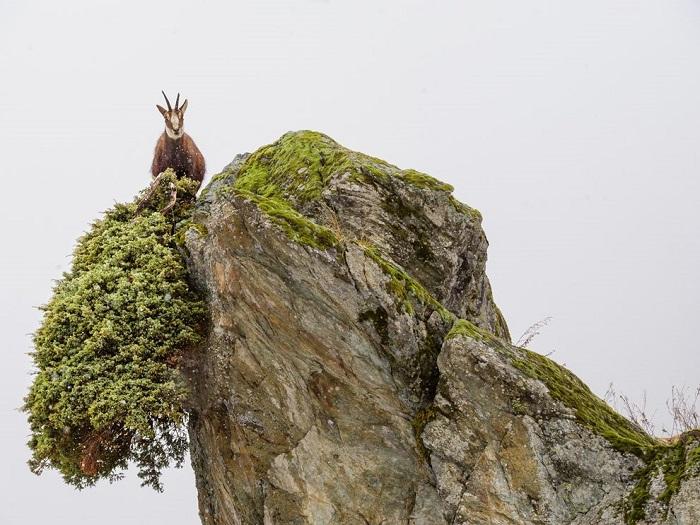 Около 8000 горных баранов нагулов живет в Национальном парке в Италии. Фотограф - Stefano Unterthiner.