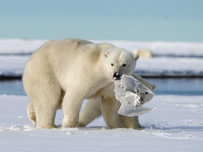 Белый медведь пока вынужден довольствоваться такой скромной добычей. Фотограф - Yoh Fong Chan.