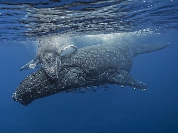 Когда мама кит вернулась с глубины, малыш был так рад ее видеть, что на несколько минут просто прилип к ней. Фотограф Fabrice Guerin.