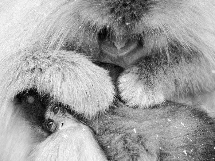В японском Нагано живут обезьяны, которые в отличие от своих сородичей вынуждены существовать в тяжелых зимних условиях, правда, у них есть способ спастись от жутких морозов – в национальном парке расположены горячие термальные источники, в которых приматы целыми днями греются. Фотограф - Masanobu Oka.