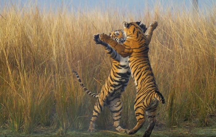 Два играющихся тигрёнка. Фотограф - Souvik Kundu.