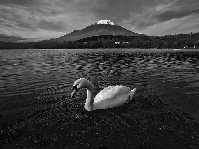 Знаменитая гора Фудзи в селе Хирано и любопытный лебедь. Фотограф - Swapnil Deshpande.
