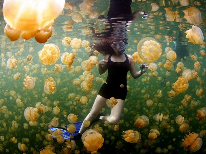 Золотые медузы в знаменитом озере Эйл Малк абсолютно безвредны для человека. Фотограф - Ciemon Frank Caballes.