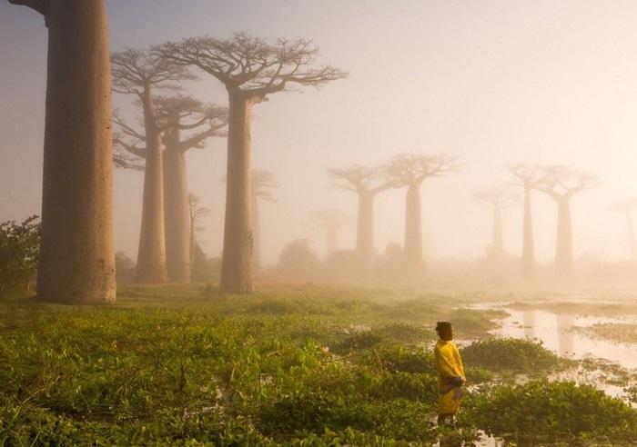 Гигантскому баобабу на Мадагаскаре уже более 800 лет отроду... Фотограф - Marsel van Oosten.