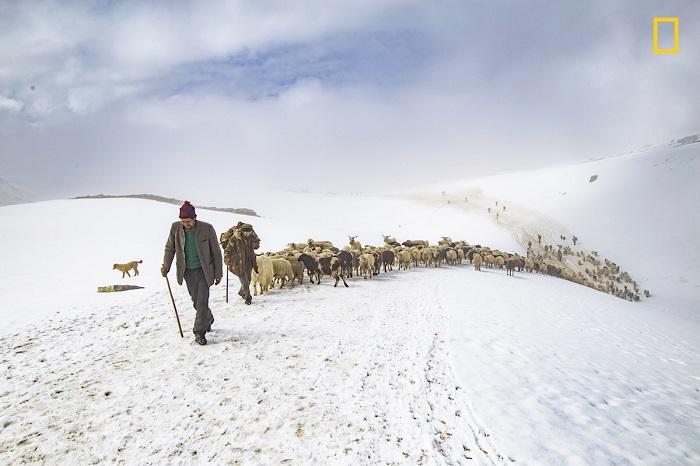 Автор снимка «Пастух и волк» - индийский фотограф Нитиш Тхакур (Nitish Thakur).