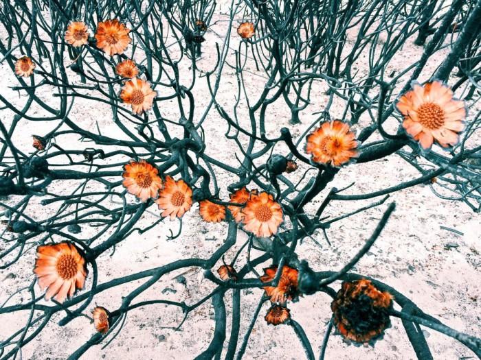 Эми изобразила на фотографии национальный символ ЮАР — растение протея. Фотограф Эми Петерсон (Amy Paterson).