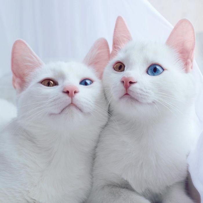 Поразительный взгляд белых кошечек.