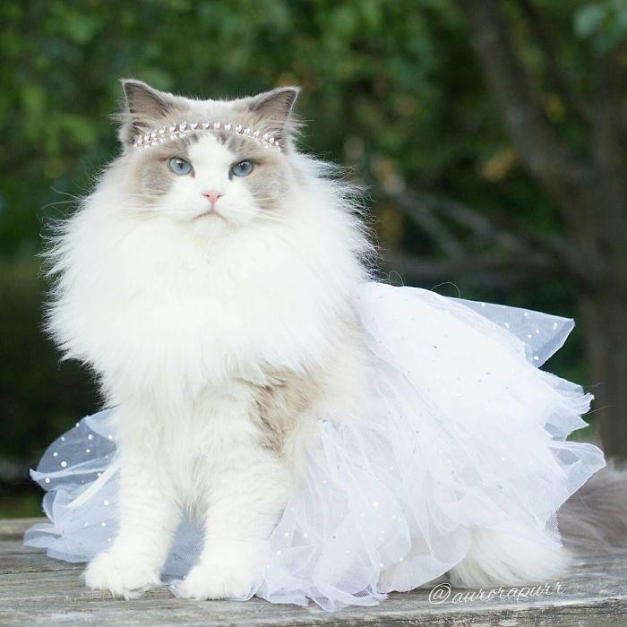 Самая красивая и самая пушистая кошка.
