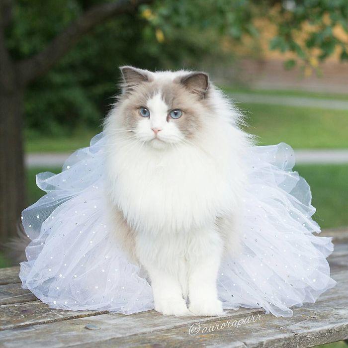 Кошка породы рэгдолл по своей сути флегматик, что придает ей невозмутимости и спокойствия.