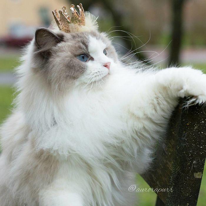 Двухцветная кошка по истине королевских кровей.