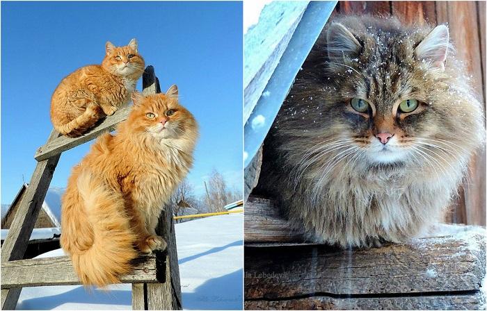 Шикарные сибирские кошки.