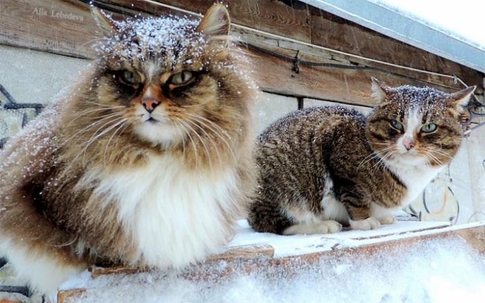 Легкий снежок не мешает котам оставаться на страже порядка.