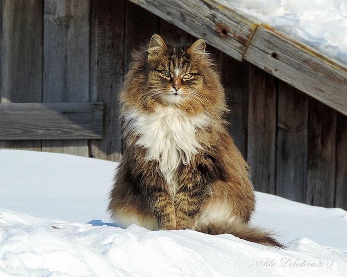 Красавец-кот защищает своих подопечных – кур и кроликов – от вредных грызунов.