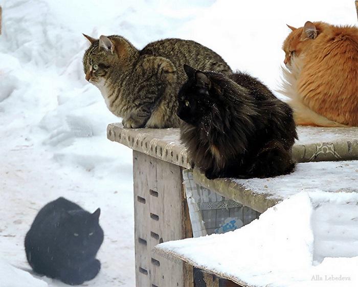 Суровые сибирские кошки в ожидании весны.