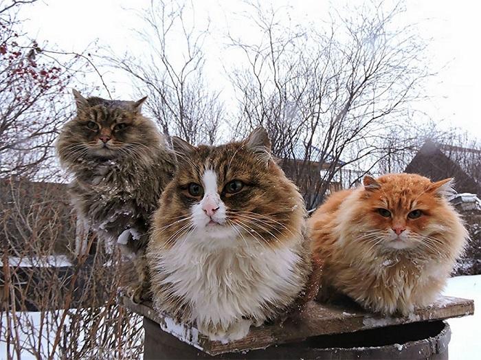 С такой густой шерстью кошкам гораздо легче переносить холод.