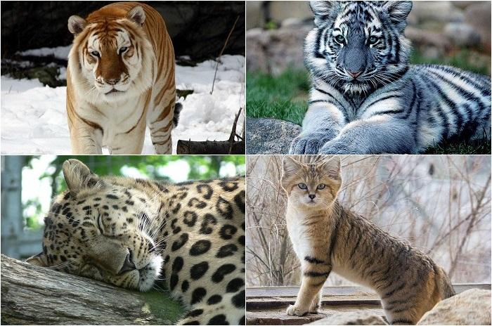 Великолепные кошки, исчезающие в дикой природе.