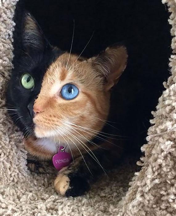 Кошка по имени Venus (Венера) - весьма симпатичная двуликая химера, наглядно демонстрирующая фантастические возможности природы.