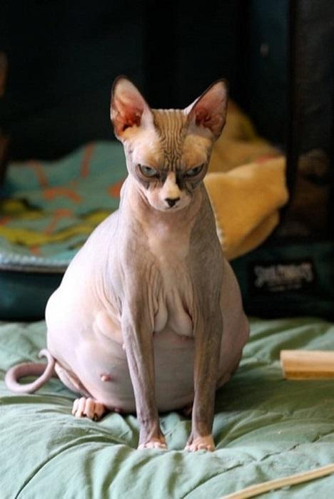 Красавица кошка в ожидании приплода.