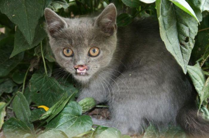 Лазарус совсем не вампир, просто бедный кот страдает кошачьим вариантом болезни волчья пасть.