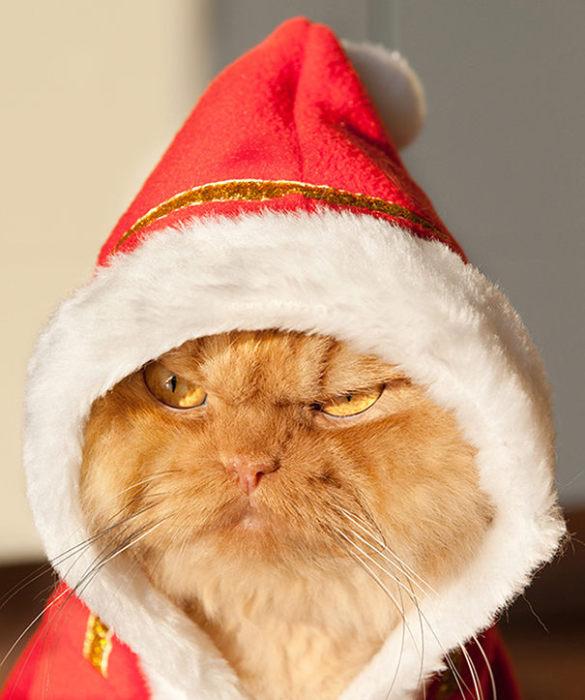 Персидский кот Гарфи, который будто смотрит на всех со злобой и ненавистью.