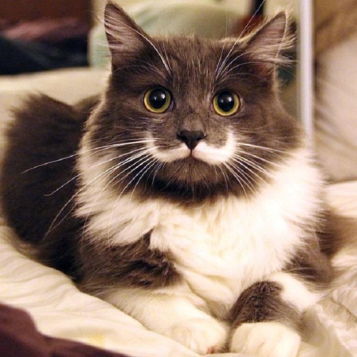 Самый стильный кот хипстер, потому что у него есть модные усы, а точнее белое пятно в виде усов.