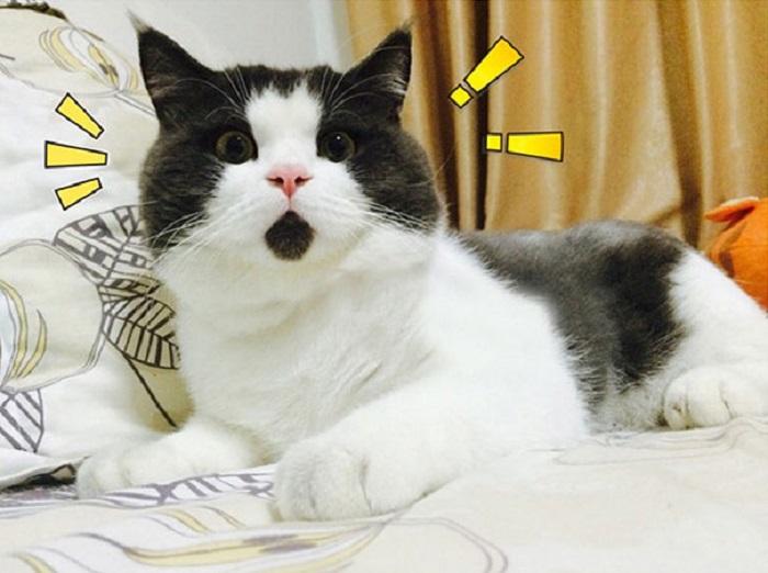 Кот породы британская короткошерстная.