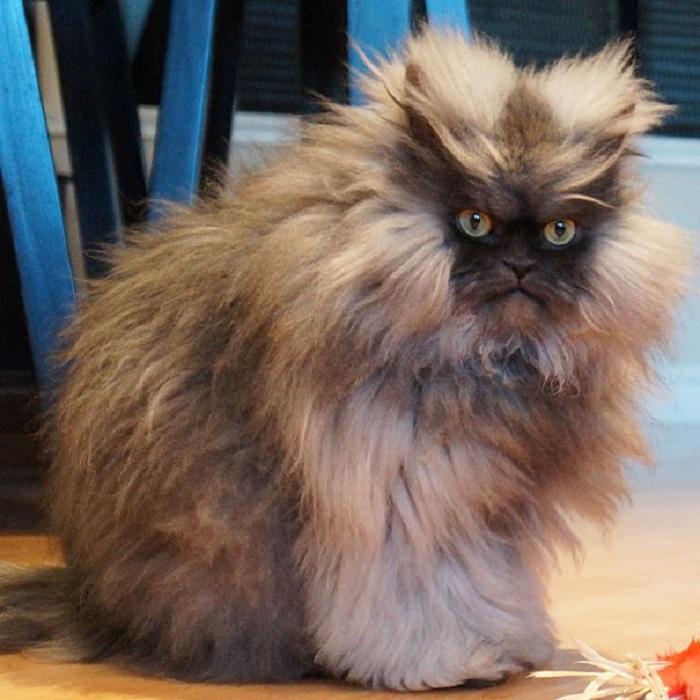 Полковник Мяу — занесен в Книгу Рекордов Гиннеса, как кот с самой длинной шерстью.
