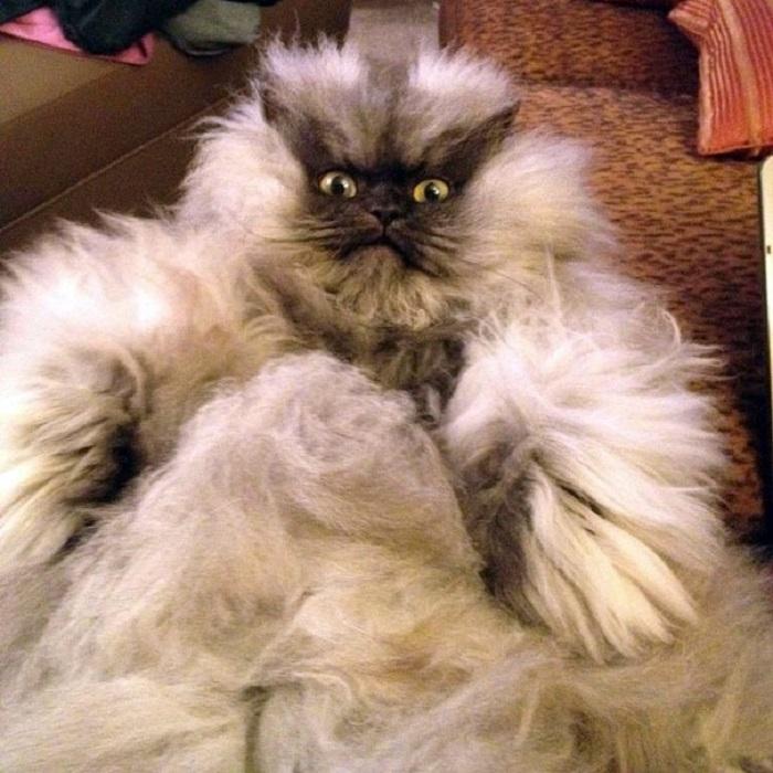 Гималайско-персидской кот получил признание за свою необыкновенную «шубку», ведь длина его шерсти 23 сантиметра.