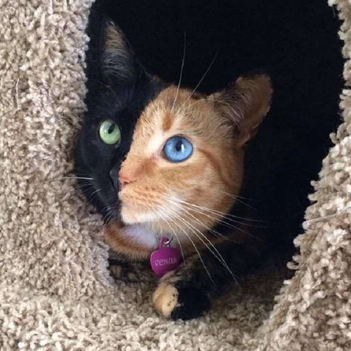 Удивительное создание природы: одна половина ее мордочки рыжая с голубым глазом, а другая чисто черная с оранжевым глазом.