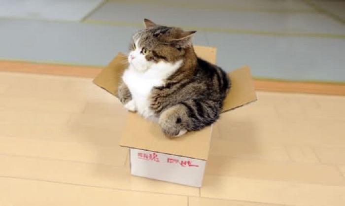Этот смешной кот является непревзойденным покорителем картонных коробок!