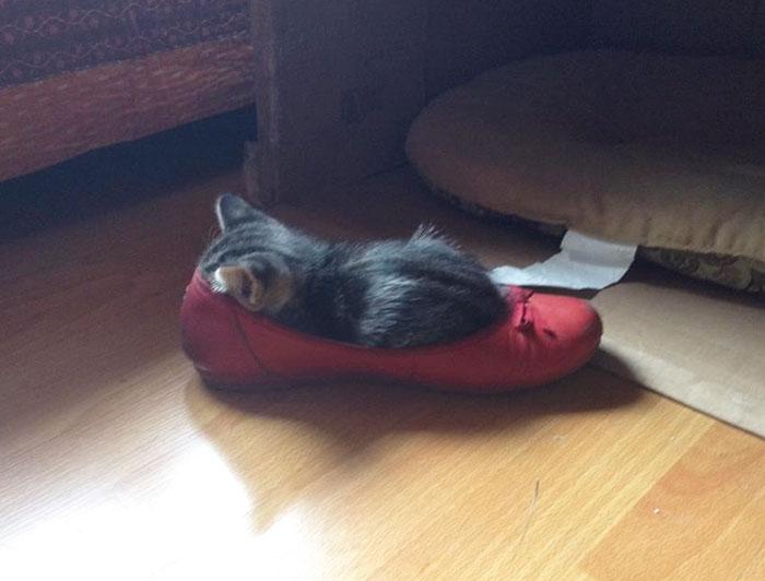 Скоро хозяйке придется искать обувь размером побольше, чтобы взрослеющая кошка могла уединяться для сна.