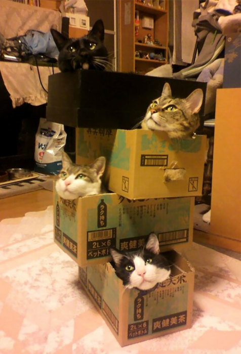 Если в доме появилась коробка – в ней обязательно заведется кот, так что чем больше коробок, тем больше котов.