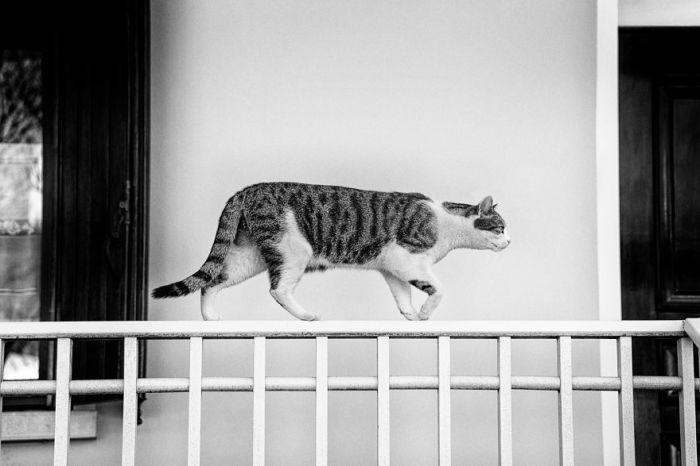 Кот Мило каждый день прогуливается по верху забора, чтобы сказать «Привет!» соседской кошке Мисси.