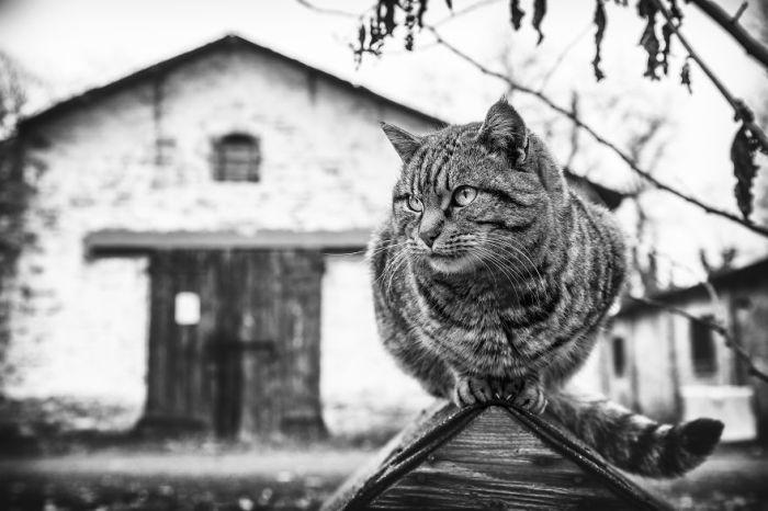 Итальянский фотограф считает, что именно черно-белые фотографии лучше всего передают характер кошек.