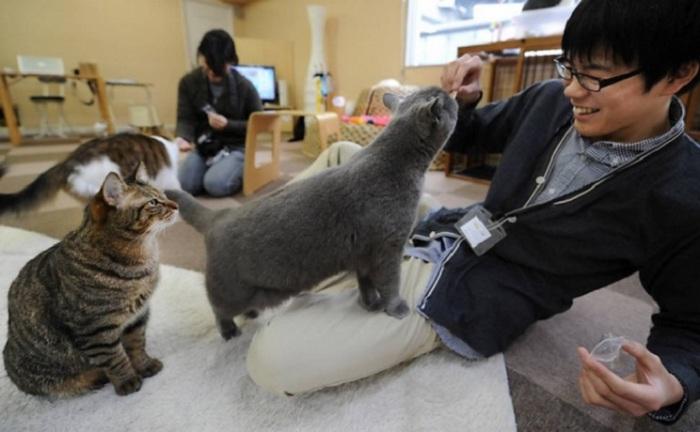 Кафе в Японии, где кошки свободно гуляют, развлекая посетителей своими играми или успокаивающим мурчанием.