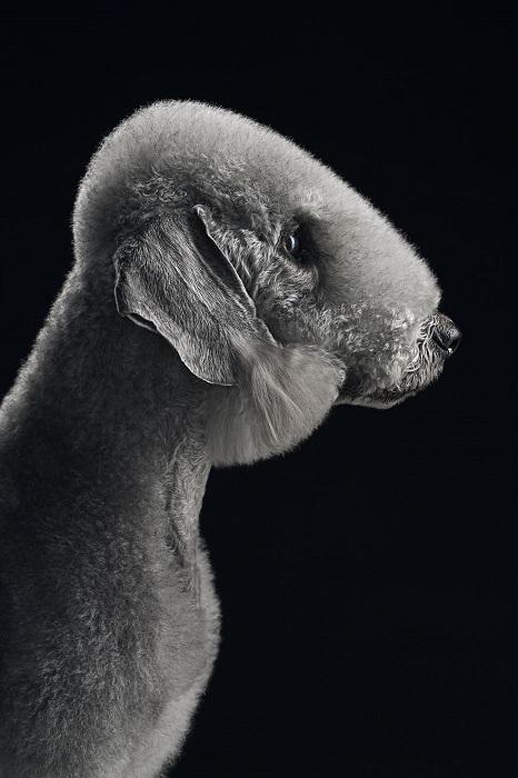 Бедлингтон-терьер самая дорогая и редкая порода собак, которая прекрасно поддается тренировке.