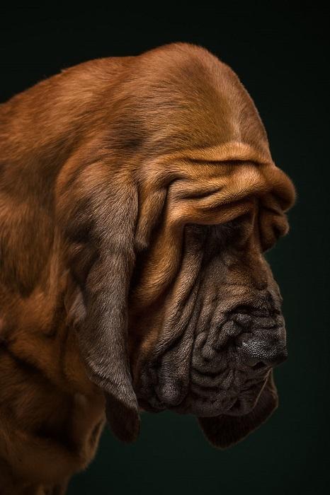 Бладхаунд - это верный и преданный пес, который служит своему хозяину.