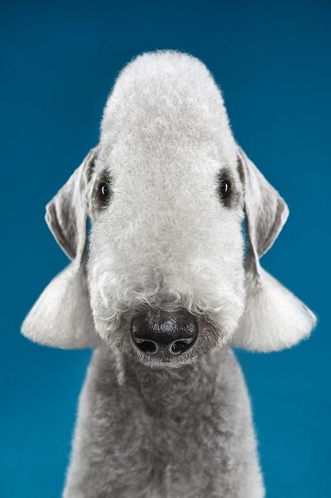 Внешность этой редкой породы напоминает беленькую маленькую овечку с храбрым сердцем.