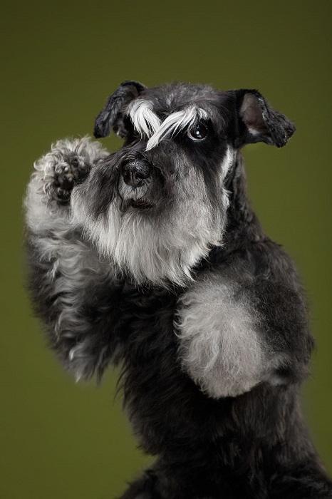 Шнауцер очень веселый и ласковый пес, который отличается от других пород собак мохнатыми бровями, усами и бородой.