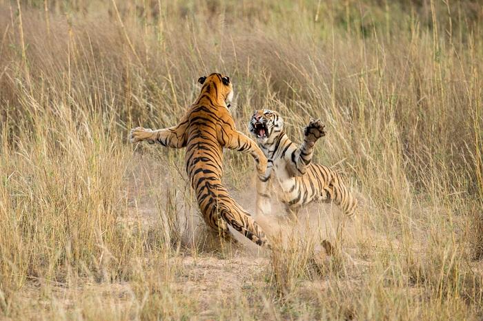 Играющие в Национальном парке подростки-тигрята в Мадхья-Прадеше, Индия. Фотограф: Archna Singh.
