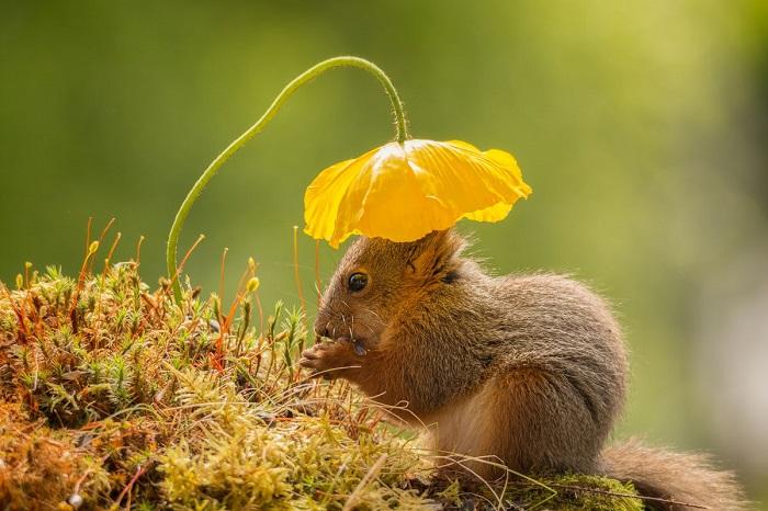 Рыжая красавица белка под шляпкой цветка. Фотограф: Гирт Вегген (Geert Weggen).
